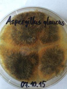Aspergillus glaucus (Schimmelpilz auf Petrischale)