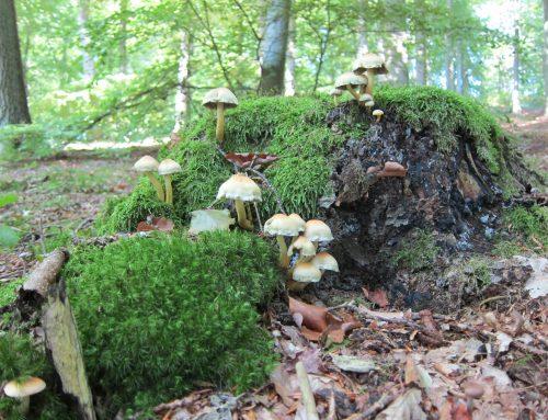 Feuchter Sommer lässt die Pilze spriessen